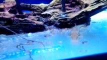 Acuario - Caracoles Melanoide Tuberculata y alevines de guppy y platy