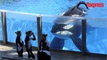 Seaworld met fin à l'élevage d'orques en captivité