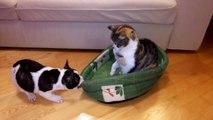 Un chiot bouledogue veut récupérer son panier squatté par un chat