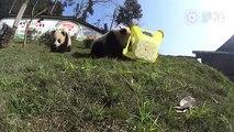 Buzz : Voici ce que ça fait d'être mangé par un bébé panda !