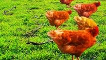 CHICKEN WARRIORS - Guerreros de Pollo