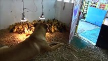 Large Dog Takes Care Of His 200 Ducklings
