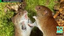 Tikus jantan lebih suka menonton perkelahian daripada seks tikus