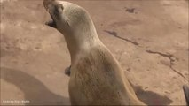 This heart breaking video, showing a sea lion who lost her baby