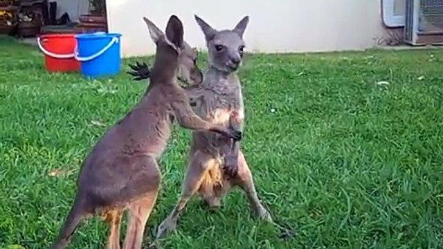 Boondi & Rocko the rescued kangaroo joeys, Denmark Western Australia