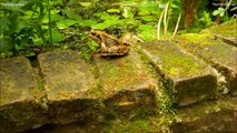 JUMPING FROGS ★ Funny Jumping Contest - Compilation