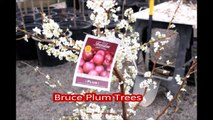 Fruit trees  on sale  for residental landscape spaces... The Bruce Plum Trees
