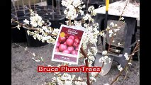 Fruit trees for residental landscape spaces... The Bruce Plum Trees   on  sale