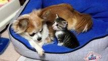 チワワに甘える子猫