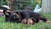 beauceron puppy play