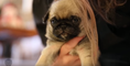Funny animals - Pug Puppies - Baby cute Dog