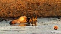 3 lions essaient de chasser un rhinocéros... Pas facile comme proie
