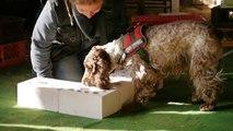 Detection Dog - Spürhund-Arbeit * unsere kleine schlaue Cocker Dame *