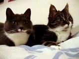 Les deux chats qui parlent