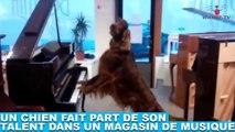 Un chien fait part de son talent dans un magasin de musique ! Tout de suite dans la minute chien #166