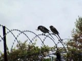 Fiscal shrike eating his prey on barbed wire