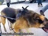 materiel pour chien berger allemand handicapé - paralysé