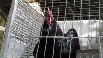 Expo Prado2013 Gallos gallinas canto clásico