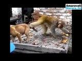 Funny Animal Videos Comedy Monkey Videos   Animals   Dog   Pets