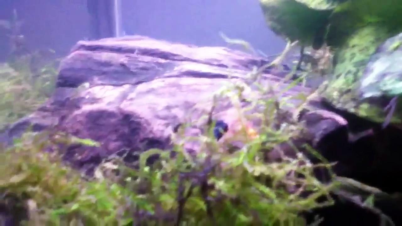 Got shrimp in the shrimp tank!