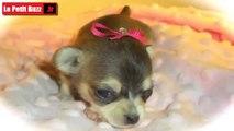 Ce petit chiot Chihuahua va vous faire fondre le cœur ! Regardez!