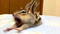 trop craquant ;-)) bisous les ami(e)s;-)))un écureil du Japon ;-)