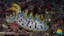 Muck Diving in Lembeh Strait - Critters of the Weeks 29 & 30