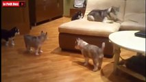 Cette maman joue avec ses septs petits chiots ! Trop Mignon !