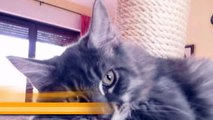 Maine Coon in Haale