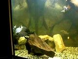 Aquarium cichlidés africain