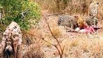 Lion Vs Hyena, Cheetah Vs Hyena , Leopard vs Hyena Real   Fight compilation - Animal Attack