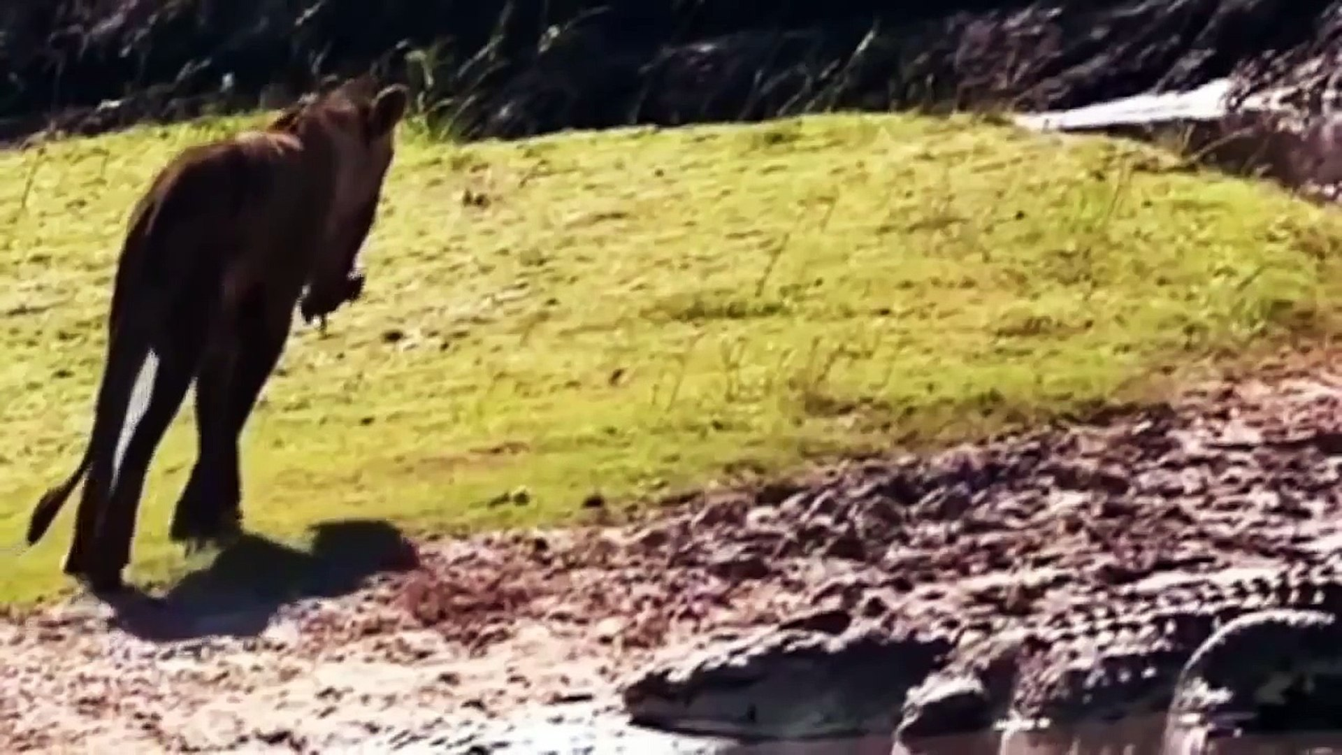 Nature documentary - lion vs crocodile Discovery channel animals attack Wildlife Animal pl