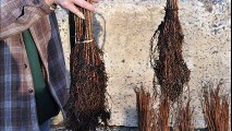Fast Growing          Dawn Redwood     Small  Seedlings   For  Sale