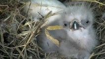 Des bébés aigles d'amérique filmés dans leur nid après leur naissance...