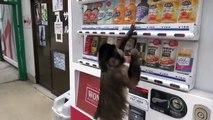 Quand il a soif ce singe se prend une canette au distributeur... Normal!