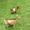 A goat is let off its leash and has a blast jumping over the other goats