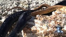 Indigo Snake Eats Rat Snake 01 Snake vs Snake