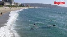 Une baleine grise s'aventure au bord d'une plage en Californie