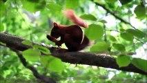 Eurasian red squirrel/ Sciurus vulgaris - Bialowieza Forest