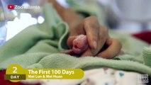 100 premiers jours de 2 bébés panda. Tellement mignon