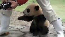 Quand un bébé panda veut forcément recevoir son câlin. Trop adorable !