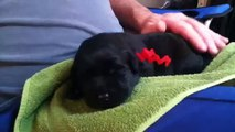 Cute black lab puppy whining