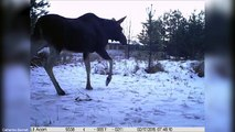 Camera traps show animals reclaim wasteland in Chernobyl