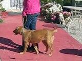 VIP Köpek Eğitim Okulu ve Köpek Oteli, Ankara - Golden Retriever Karamel Temel İtaat Adaptasyonu