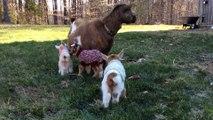 Des bébés chèvres habillés avec des pulls : trop chou