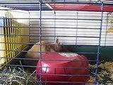nos lapins nains , douceur et lapinou CORSE