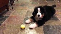 Ce chien goutte un citron pour la première fois... ça pique!!!