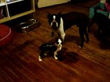 Monty the Boston Terrier vs. cast iron Boston Terrier