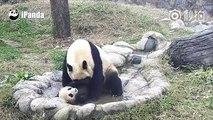 Quand un bébé panda refuse de prendre son bain