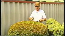 easy topiary pt 4 clipping larger topiary and hedges